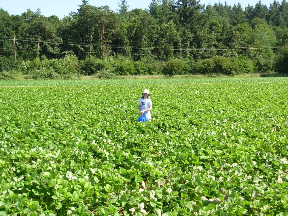 Strawberry picking west of Eugene