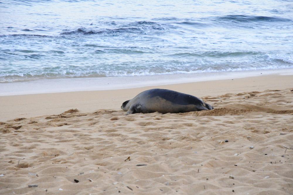 Monk Seal on Kapa'a Beach