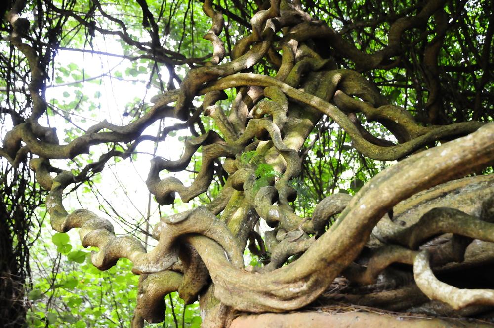St. Thomas Bean, National Tropical Botanical Garden
