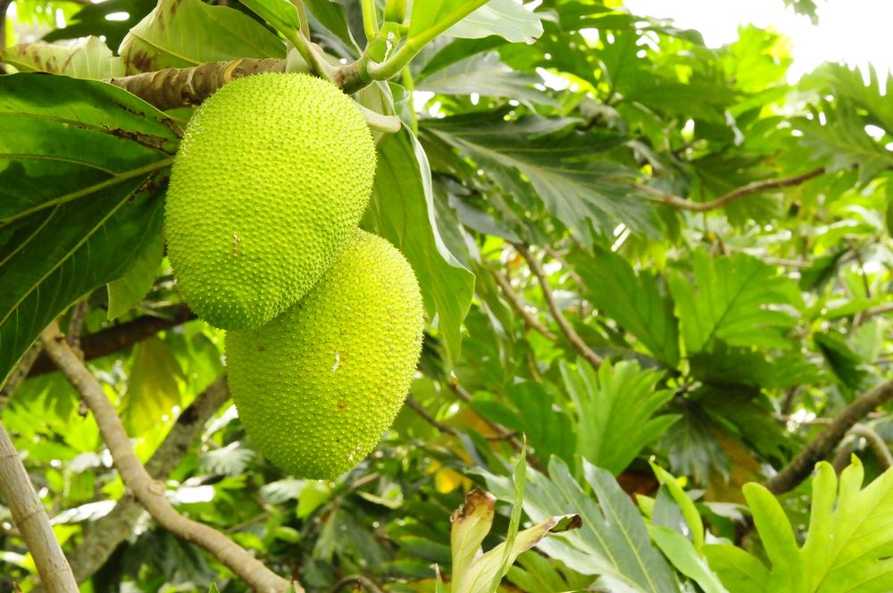 'Ulu (breadfruit)