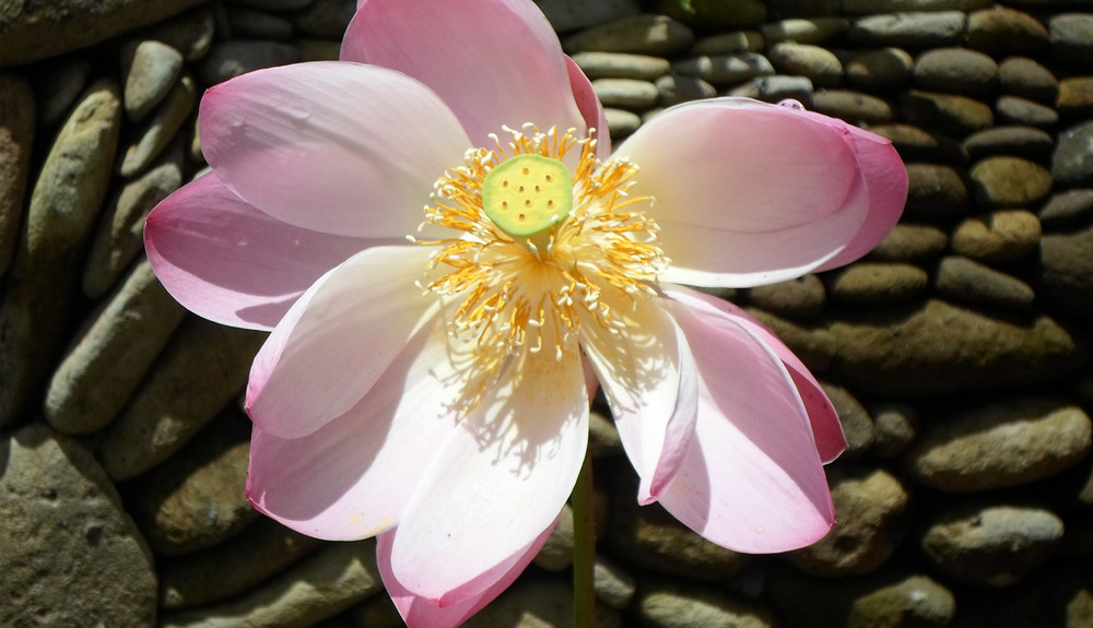 lily-flower.jpg