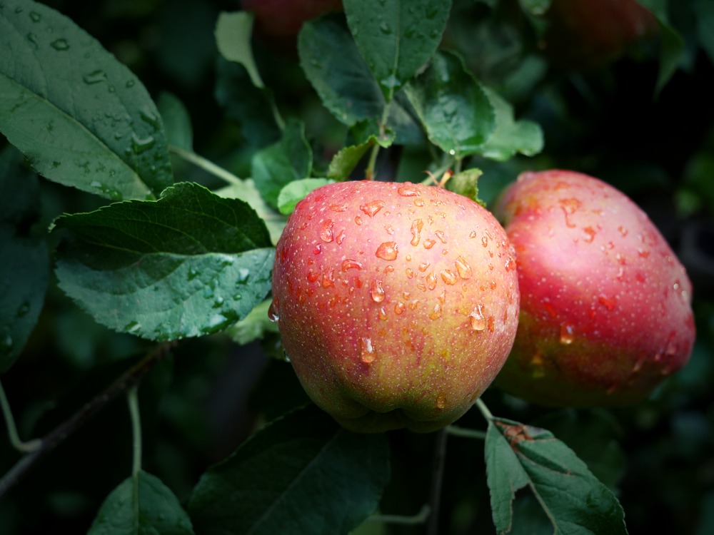 Apples-rain-vignette.png
