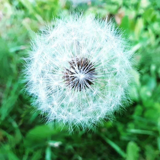 Appreciating the small things in life 😊 #mindfulliving #dandelion #awarenessineachmoment #walkingmeditation #stopandsmelltheflowers #yogadivingretreat #yogaretreat2018 #yogaretreatnorthbali #yogaeveryday #slowingdown