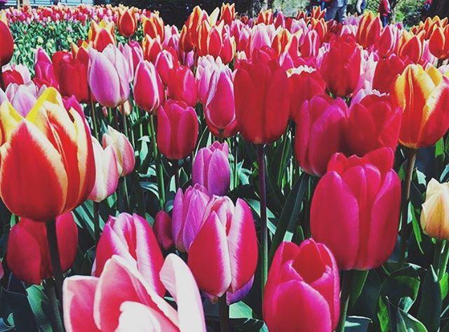 Location: Keukenhof Gardens, Netherlands🌍🇳🇱 #allthingsabroad #ata #abroad #abroadlife #lifeabroad #life #study #studyabroad #student #studentuniverse #travel #travelphotography #beautiful #beautifuldestinations #tulips #flowers #flowersofinstagram #flower #keukenhof #netherlands #garden