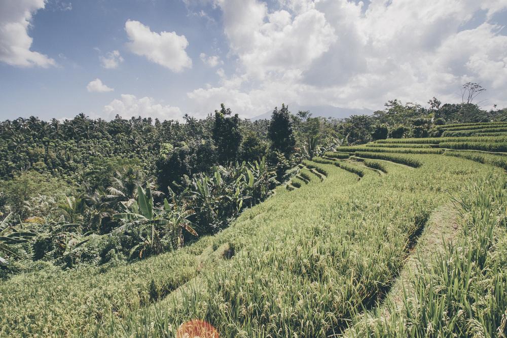 Riisi tuottaa lajikkeesta riippuen kolme tai neljä satoa vuodessa.