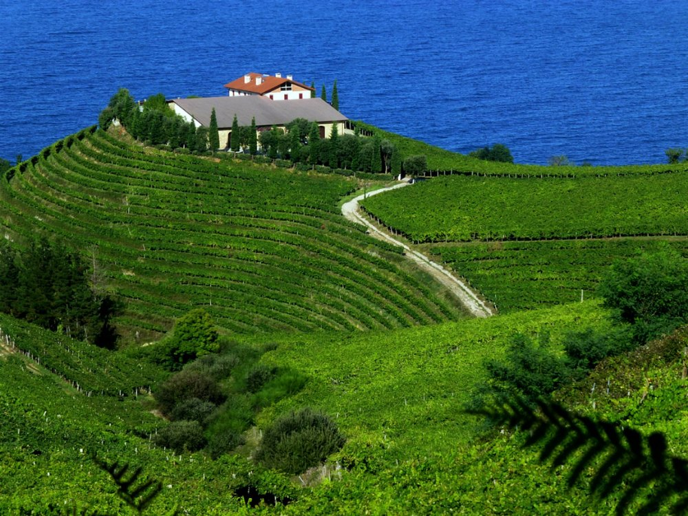 seas of vineyards