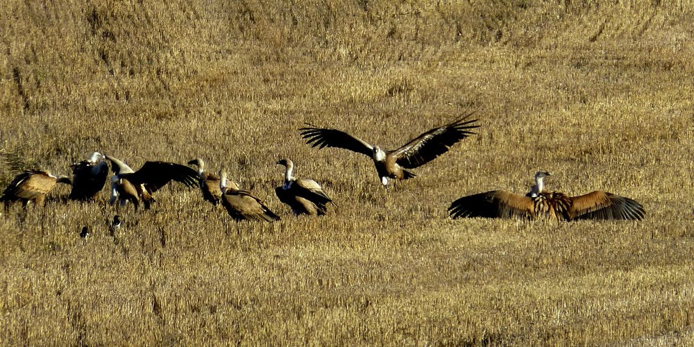 Massive griffon vultures descend upon a carrion find