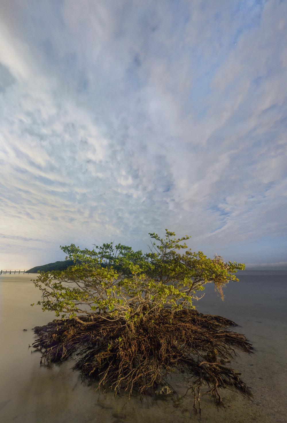 Mangrove, Boca Chita Key