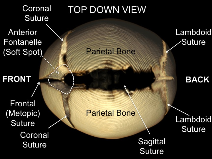 cranial sutures top down view