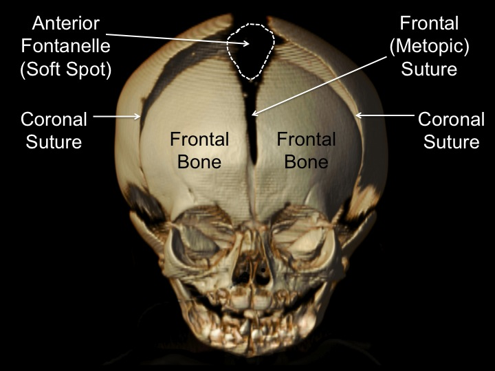 cranial sutures anterior view