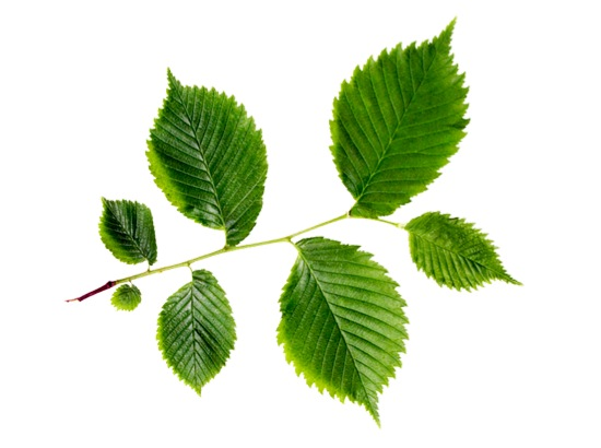 %name Slippery Elm Ulmus Fluva