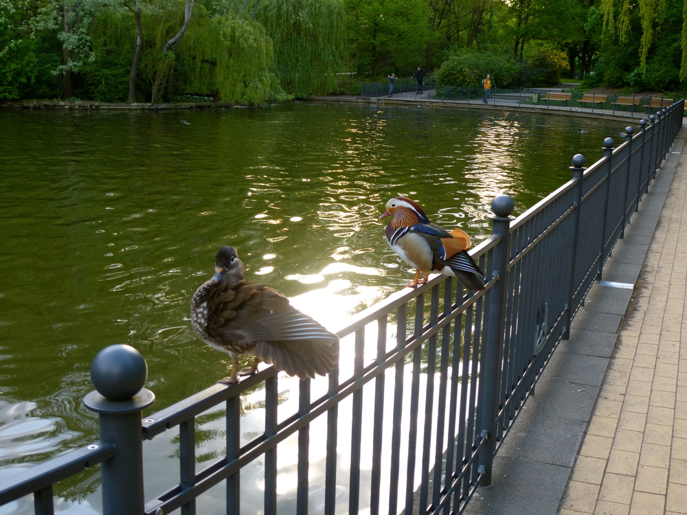 Mandarin ducks at volkspark in Friedrichshain