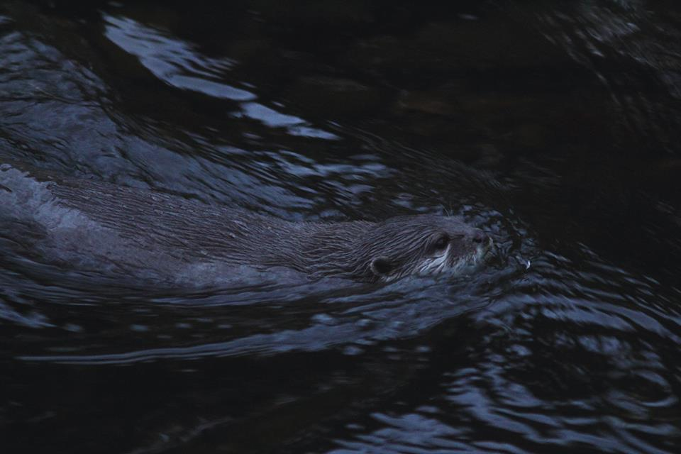 You can also see the two Asian short clawed otters - though they only seem to come out at feeding times