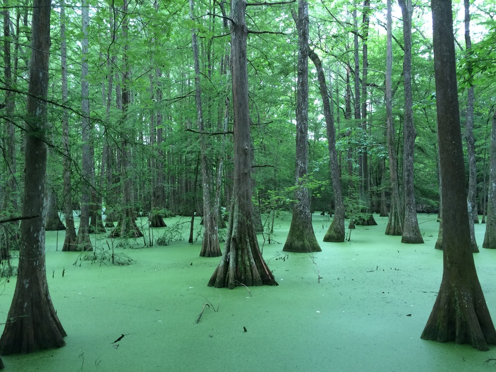 Cypress Swamp at Chicot