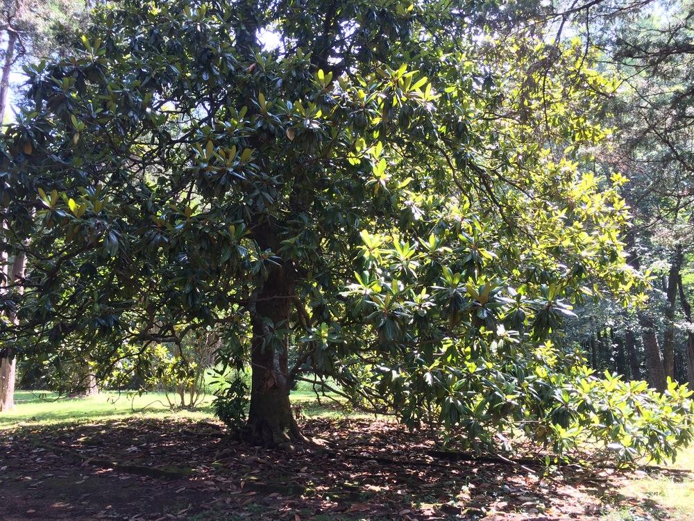 Judith's Magnolia