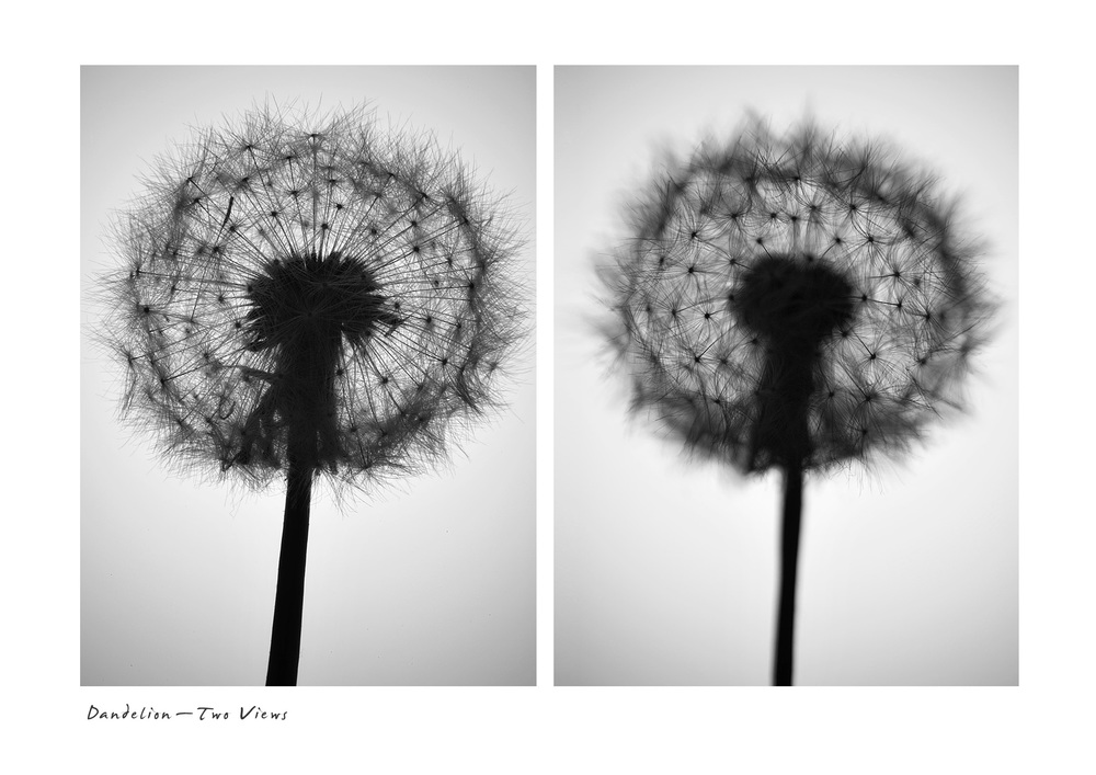 Dandelion - Two Views