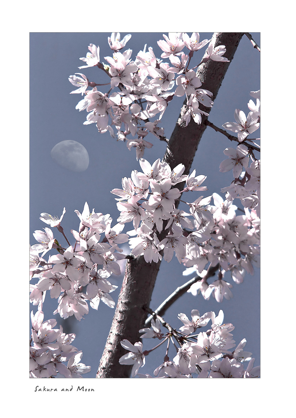 Sakura and Moon