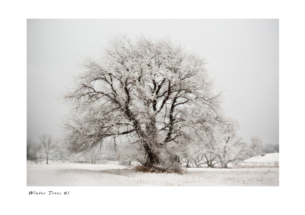 Winter Trees #1