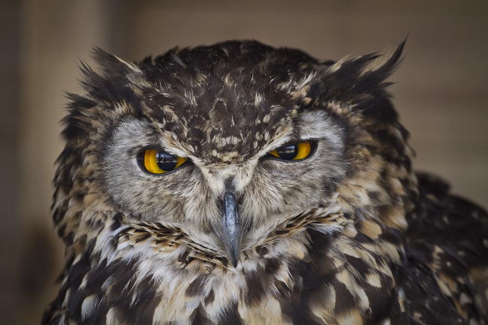 Grumpy owl, UK