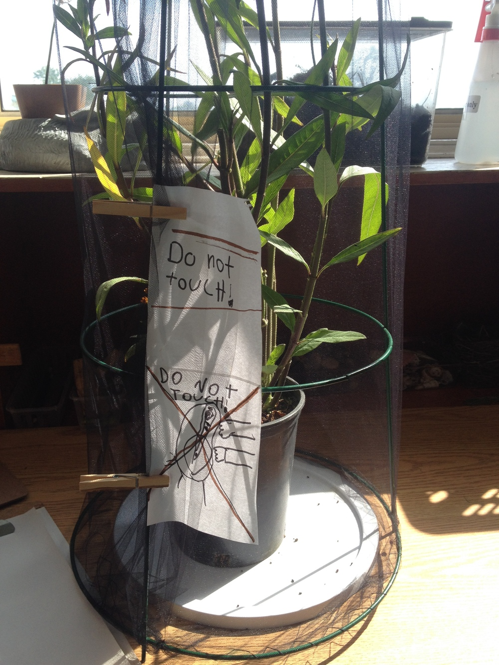 One student wrote signs to discourage her classmates from touching the monarch caterpillars growing in our classroom.