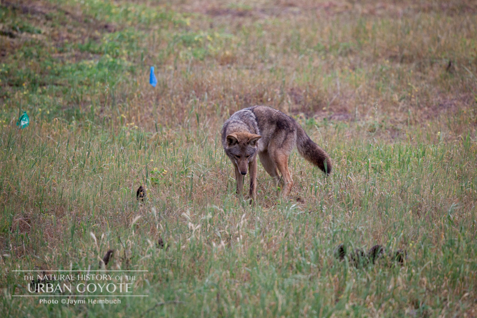 Rodents make up the bulk of a coyote's diet. Even when garbage is plentiful, coyotes prefer an all-natural menu. © Jaymi Heimbuch/The Natural History of the Urban Coyote
