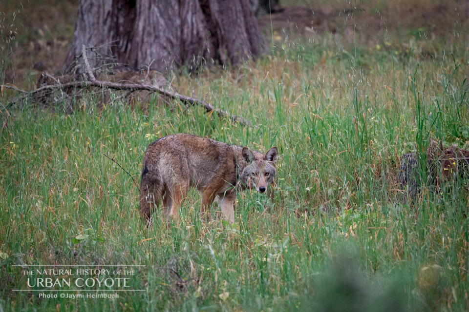 Though well-meaning, people who feed coyotes are ultimately causing the animal's death. The kindest thing one can do for a coyote is to avoid habituating them to humans. © Jaymi Heimbuch/The Natural History of the Urban Coyote