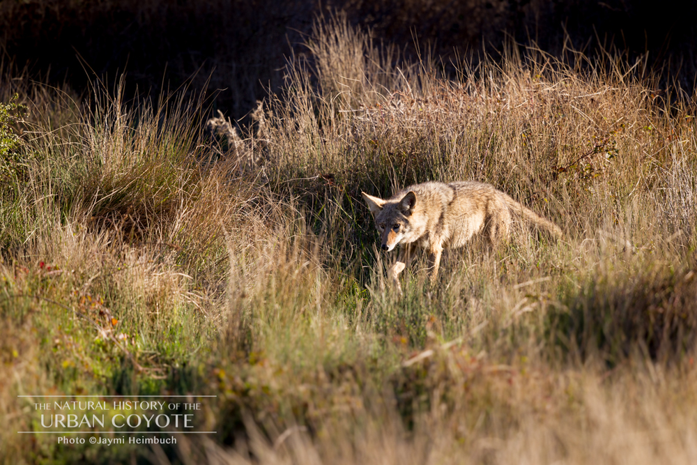 Coyotes are naturally diurnal or crepuscular. Urban coyotes' switch to nocturnal activity is a survival strategy, allowing them to live among humans relatively undetected. © Jaymi Heimbuch/The Natural History of the Urban Coyote