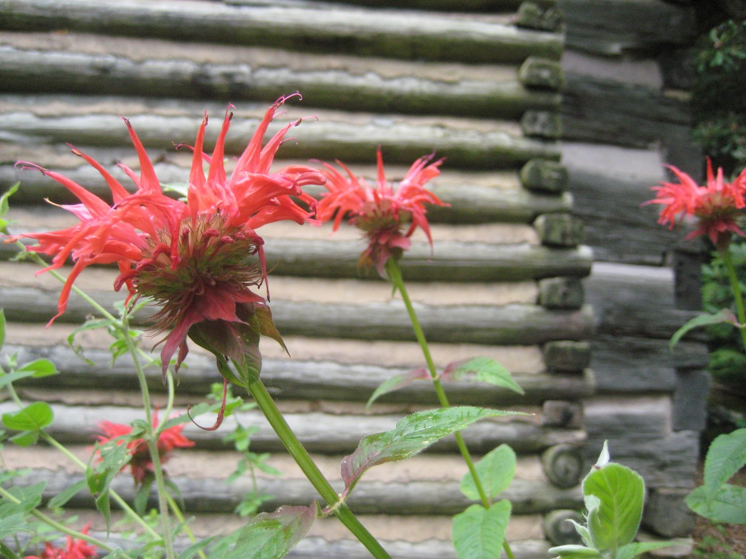 Some Known Details About What Is Bee Balm