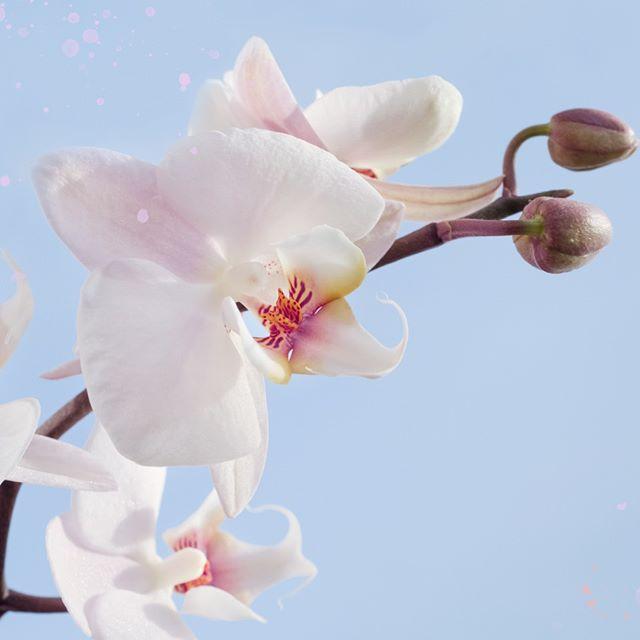 #SabiasQue... En #Venezuela hay más de 1500 especies de #orquídeas. Es uno de los países con el más amplio número de especies de #Cattleyas conocidas. La orquídea representa la feminidad y la belleza del país, y también es considerada la Flor Nacional Colombia, Costa Rica, Guatemala, Panamá y Honduras. ⠀⠀⠀⠀⠀⠀⠀⠀⠀ ⠀⠀⠀⠀⠀⠀⠀⠀⠀ ⠀⠀⠀⠀⠀⠀⠀⠀⠀ ⠀⠀⠀⠀⠀⠀⠀⠀⠀ ⠀⠀⠀⠀⠀⠀⠀⠀⠀ ⠀⠀⠀⠀⠀⠀⠀⠀⠀ ⠀⠀⠀⠀⠀⠀⠀⠀⠀ ⠀⠀⠀⠀⠀⠀⠀⠀⠀ #venezuelan #venezuelalibre #orquidea #venezuelalucha #Venezuelangirl #venezolanosenelmundo  #venezueladice #VenezuelaTeQuiero #venezuelanpower #venezuelacreativa #venezobadass #llevotuluz #Venezuelanmodel #venezuelandesigners #venezolana #venezueladesign #venezuelafood #venezuelafit #venezuelateamo #venezuelandesign #venezuelafotos #venezuelatattoo #venezuelanblogger #VenezuelaQuiereCambio #VenezuelaEmprende