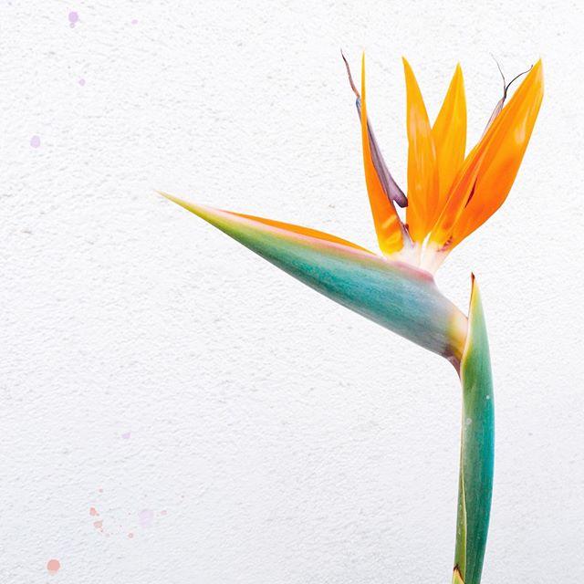 #SabiasQue... Las #AvesDelPAraiso son unas de las joyas más prestigiosas de la selva nublada de Rancho Grande, en el #ParqueNacionalHenriPittier. Allí, en las montañas de la cordillera de la Costa, en el Estado Aragua, en las vías a Ocumare o a Choroní, crecen estas plantas tan llamativas. ⠀⠀⠀⠀⠀⠀⠀⠀⠀ ⠀⠀⠀⠀⠀⠀⠀⠀⠀ La Heliconia acuminata o Ave del Paraíso, es una planta esbelta, de dos o tres metros de alto, de hojas pequeñas de unos veinticinco de largo, que crecen opuestas y alternas a lo largo del tallo. Las inflorescencias son erectas, de 40 cm de largo, con unas siete hojas modificadas de color rojizo con la base verdosa.⠀⠀⠀⠀⠀⠀⠀⠀⠀ ⠀⠀⠀⠀⠀⠀⠀⠀⠀ ¡Menciona a alguien que ame estas flores tan elegantes y hermosas! ⠀⠀⠀⠀⠀⠀⠀⠀⠀ ⠀⠀⠀⠀⠀⠀⠀⠀⠀ ⠀⠀⠀⠀⠀⠀⠀⠀⠀ ⠀⠀⠀⠀⠀⠀⠀⠀⠀ ⠀⠀⠀⠀⠀⠀⠀⠀⠀ ⠀⠀⠀⠀⠀⠀⠀⠀⠀ ⠀⠀⠀⠀⠀⠀⠀⠀⠀ ⠀⠀⠀⠀⠀⠀⠀⠀⠀ #llevotuluz #mujervenezolana #venezobadass #missvenezuela #hechoenvenezuela #floravenezolana #miss #diseñovenezolano #venezolanas #venezuelalibre #orgullovenezolano #venezolana #tricolor #telemundo #vzla #entretenimiento #talentovenezolano #venezuela #venezuelan #caracas #caracascity #chacao #miranda #aragua