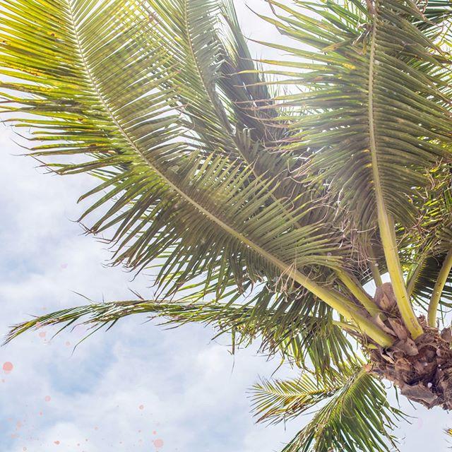 #SabiasQue... #Venezuela cuenta con el 44,80% de los géneros y el 18,15% de las especies de palmeras en América, un número enorme respecto al tamaño geográfico del país. La familia de las palmas comprende unos 200 géneros y 2.600 especies a nivel mundial y, en Venezuela, hay aproximadamente unas 125 especies autóctonas. San Juan de Colón se conoce como la ciudad de las palmeras. ¿Has visitado esta ciudad tachirense? ⠀⠀⠀⠀⠀⠀⠀⠀⠀ ⠀⠀⠀⠀⠀⠀⠀⠀⠀ ⠀⠀⠀⠀⠀⠀⠀⠀⠀ ⠀⠀⠀⠀⠀⠀⠀⠀⠀ ⠀⠀⠀⠀⠀⠀⠀⠀⠀ ⠀⠀⠀⠀⠀⠀⠀⠀⠀ #venezuela #venezuelan #venezuelalibre #VenezuelanFood #venezuelaes #venezuelalucha #venezolanosenelmundo  #venezueladice #VenezuelaTeQuiero #venezuelacreativa #venezobadass #llevotuluz #venezolana #venezueladesign #venezuelafood #venezuelafit #venezuelateamo #venezuelafotos #venezolanosenelmundo #playa #tachira #palmtree #tropical #palmeras