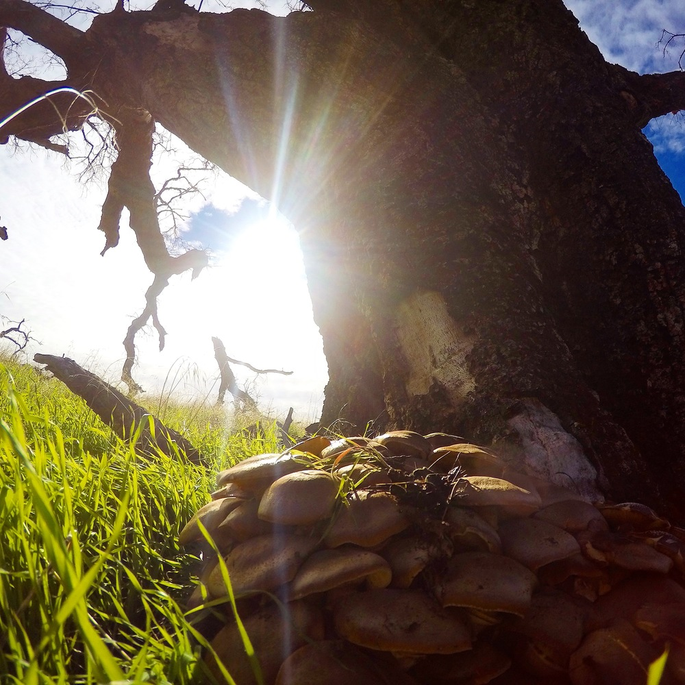 Spotted this patch of poisonous mushrooms resting underneath an oak tree on my climb to Timber Top.