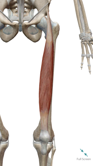 Rectus Femoris (notice how it crosses the knee AND hip joints)