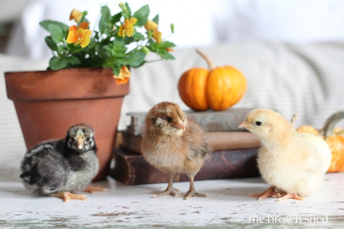baby chicks | thebrownshed.com