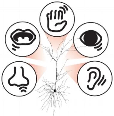 Senses+Neuron_NEW 500.jpg