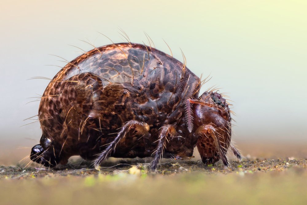 Inspirational Scientific Imagery: 100x magnified photograph of a springtail grazing on soil microbes.