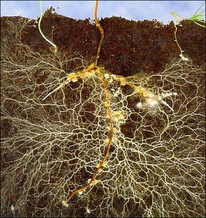 Inspirational Scientific Imagery: A tiny section of the 'Wood Wide Web'. Image of how a plant root is massively extended by its fungal partner (mycorrhizae).