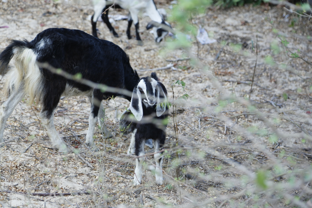 Goats wandering around the area looking for edible plants