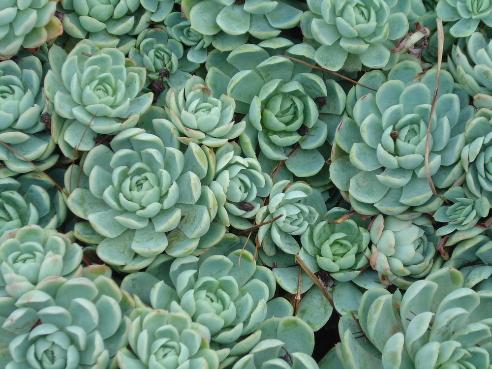succulents_1_by_serraangel.jpg