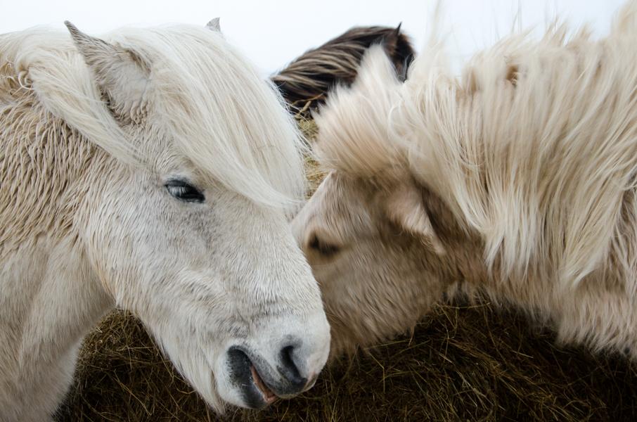 Icelandic horses.  Gerði, Iceland, 2015.