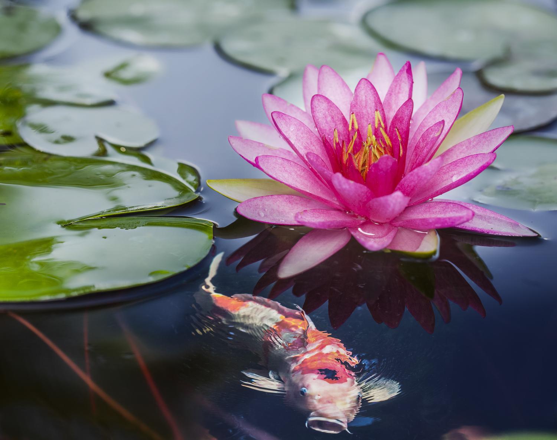Lucinda kotter licensed acupuncturist bigstock pink lotus 47215759g izmirmasajfo Image collections