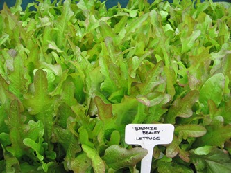 Bronze Beauty lettuce