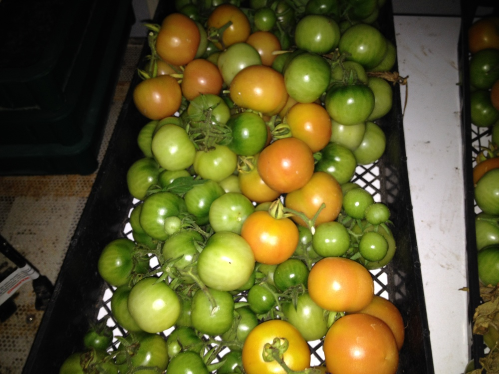 Winter tomatoes in October, picked before the first frost.