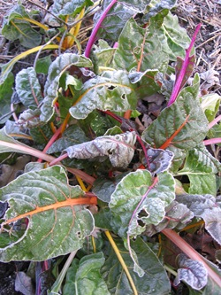 Swiss chard looks beautiful when painted by frost.