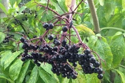 Grow no-fuss backyard fruit such as elderberry