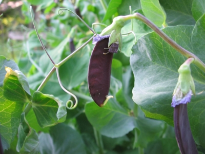 Pick the unexpected. Kids like surprises...like purple peas.