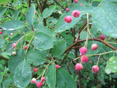 Serviceberry is a native edible plant well suited to growing in the city