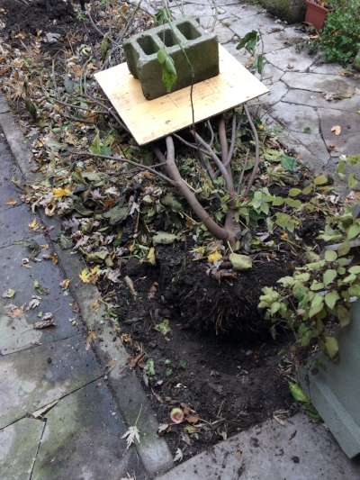 Fig tree with roots loosened on one side, tipped over to lie on the ground. The board and concrete block weigh it down. Next step is to add leaves or straw over top to insulate it.