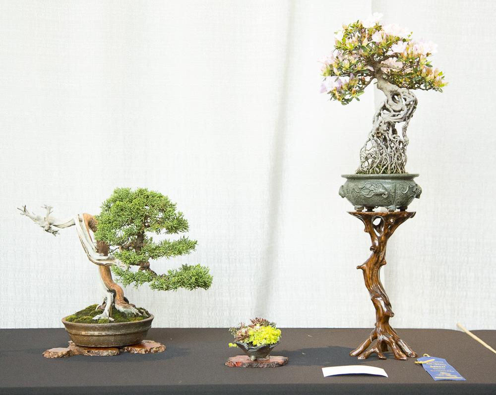 BonsaiTree6.JPG
