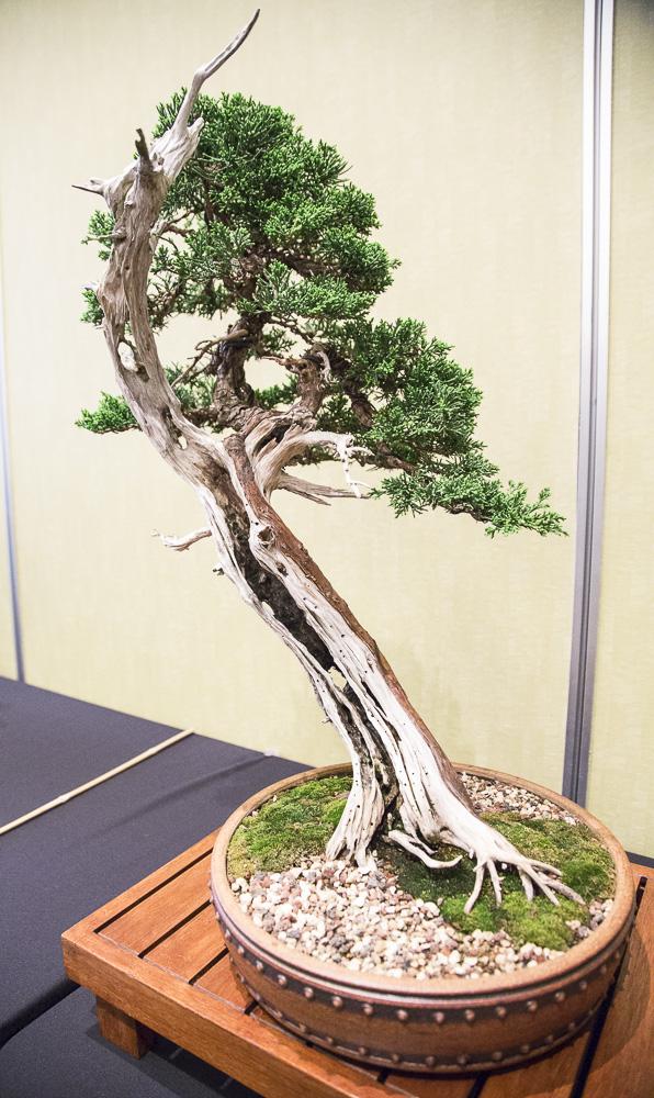 BonsaiTree25.JPG
